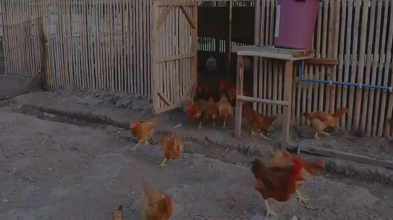 【上野物產】 新鮮台灣雞肉丸子 ( 30g±10%/顆 )x60顆 product video thumbnail